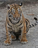 Tigerjunges Lizenzfreie Stockfotografie