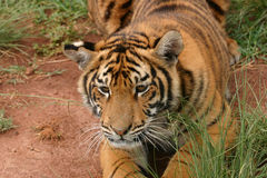 Tigerjunges Stockfoto