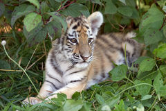 Tigerjunges Stockbild