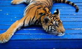 Tigerjunges auf der Kette Stockfotos