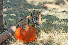 Tigerjunges, das mit dem Kürbis spielt stockbilder