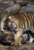 Tigerjungspielen lizenzfreies stockfoto