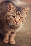 Tigerkatt Fotografering för Bildbyråer