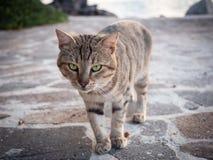 Tigerkatt som går på stranden i Grekland på solnedgång royaltyfri fotografi