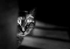Tigerkatt som stirrar i en hota väg arkivfoton