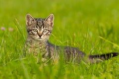 Tigerkattunge som spelar i gräs Arkivfoton