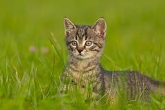 Tigerkattunge som spelar i gräs Arkivbild