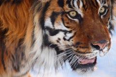 Tigerkopf Lizenzfreie Stockfotos
