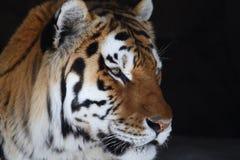 Tigerkopf Lizenzfreie Stockbilder