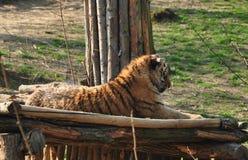 Tigerlügen Stockfotografie