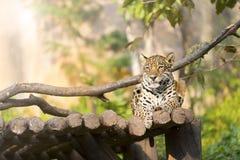 Tigerleopard på trä som vilar i zoo Arkivfoton