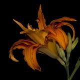 Tigerlilie auf Schwarzem Lizenzfreie Stockbilder