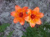 Tigerlilie im Gartenabschluß oben Lizenzfreies Stockfoto