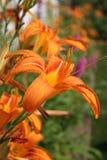 Tigerlilie schließen oben 3 Stockfotografie