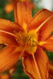 Tigerlilie schließen oben 1 Lizenzfreie Stockfotos