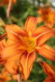 Tigerlilie schließen oben 4 Lizenzfreie Stockfotos