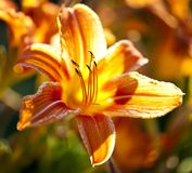 Tigerlilienblume Lizenzfreies Stockbild