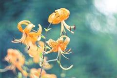 Tigerliljor i trädgård Liliumlancifoliumen är en av flera art av den orange liljablomman Arkivbild