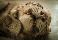 Tigermündung Lizenzfreie Stockfotos