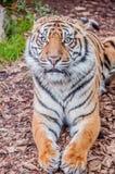 Tigermaske, Bengal-Tiger, Königin des Waldes, nahes hohes des Tigers, katzenartig stockbild