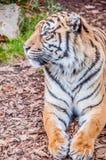 Tigermaske, Bengal-Tiger, Königin des Waldes, nahes hohes des Tigers, katzenartig lizenzfreie stockfotografie