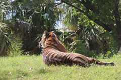 Tigermoder som håller ögonen på hennes gröngöling arkivfoto