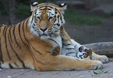 Tigermother com sua criança Imagem de Stock
