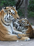 Tigermother with its child Stock Images