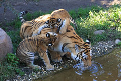 Tigermother with its two kids Royalty Free Stock Image