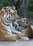 Tigermother met zijn kind Stock Afbeeldingen
