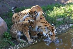 Tigermother met zijn twee jonge geitjes Royalty-vrije Stock Afbeelding