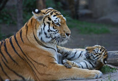 Tigermother playing with its child Royalty Free Stock Photos