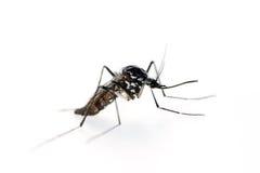 Tigermygga, Aedesalbopictus Makro profil Fotografering för Bildbyråer