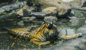 Tigern bevattnar in Arkivfoton