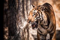 Tigern går i en bur royaltyfri foto