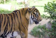 Tigern gjorde randig den rovdjurs- däggdjurs- röda databoken djungelcirkusen Royaltyfria Bilder