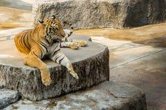 Tigern i zoo är det bästa fotoet royaltyfri foto