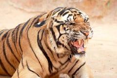 Tigern lyfttes i tempel Royaltyfri Bild
