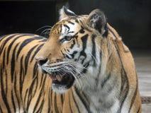 Tigern med hög koncentration. Fotografering för Bildbyråer