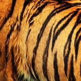 Tigern pälsfodrar Royaltyfri Foto