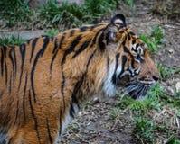Tigern profilerar Fotografering för Bildbyråer