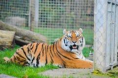 Tigern ser dig royaltyfri bild