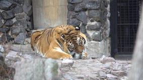 Tigern slickade och slickar hans tafsar stock video