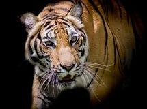 Tigern som ser hans rov och, ordnar till för att fånga det Royaltyfria Bilder