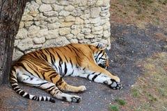 Tigern sover royaltyfria bilder