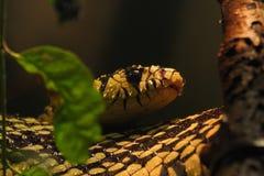 Tigern tjaller ormen Fotografering för Bildbyråer