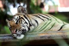 Tigern undersöker produktion Fotografering för Bildbyråer