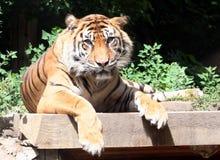 Tigern vänder mot Arkivfoto