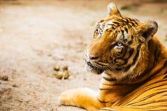 Tigern vänder mot Royaltyfri Bild