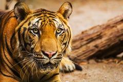 Tigern vänder mot Arkivbilder